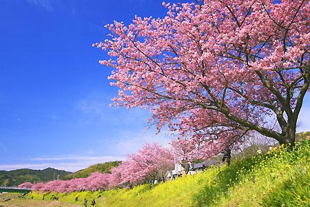 kawazu zakura