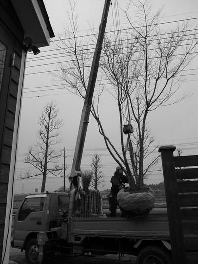 もみじの木たちは 「植木屋ケンちゃん」の協力でいったん移植されます